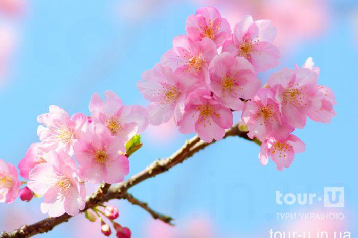 Цвітіння сакури в Ужгороді (сакура-фест 2021) та історичні пам'ятки Ужгорода