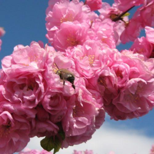 Ужгородська сакура - одне з найкрасивіших явищ